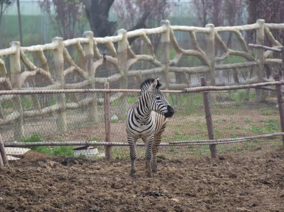 来宿州野生动物园不仅可以看大熊猫,还可以看到狮子,老虎,河马,长颈鹿