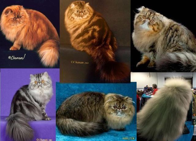 龙女宝宝取名字还认为金吉拉是一种品种猫?没想到连百度百科都错了!