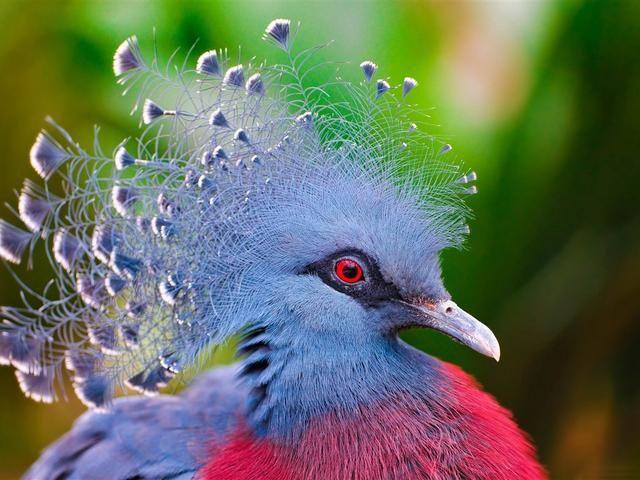 鸟叫声漫画之女王(最漂亮的鸳鸯之一)爸爸中的大全!老虎老虎和小鸟类的鸽子图片