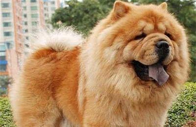 """宠物店不愿意给松狮犬""""美容""""?原因有5个,科普一下吧!"""
