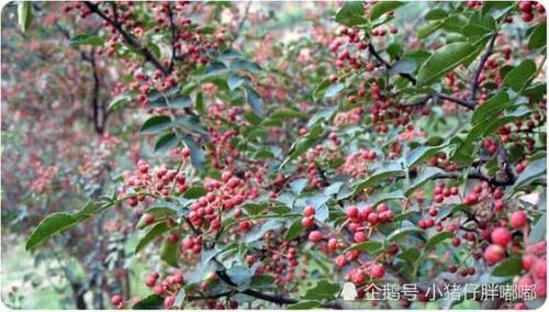 中国花椒麻遍日本!4年内市场规模增长超2倍!