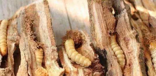 见过啃食树干中的虫吗?利用太赫兹成像技术,能减缓虫害的传播!