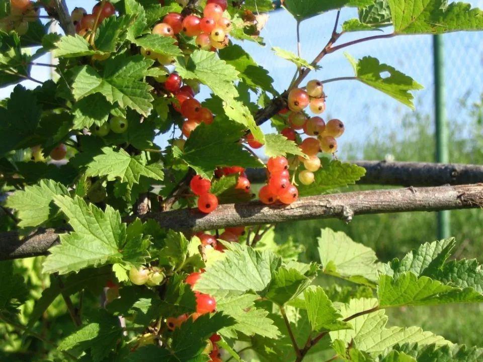 农村一种似樱桃的野果,维C量仅次猕猴桃,如今20元一斤成稀罕货