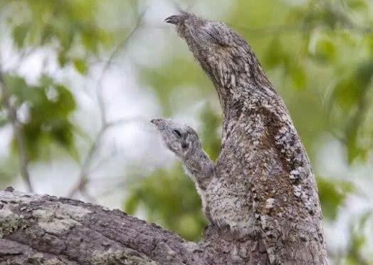 辛酸!幼鸟为躲避天敌将自己伪装成枯木,一伪装就是一辈子