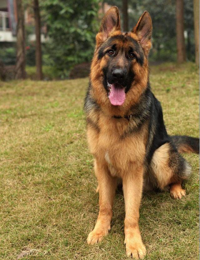 不同狗狗患癌风险各不同?盘点六大癌症高发犬种