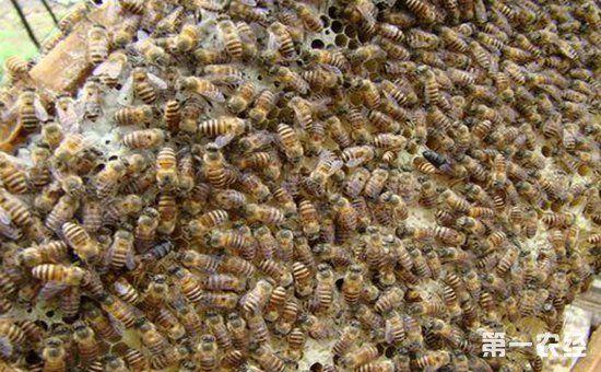 中华蜜蜂要怎么过箱?中华蜜蜂养殖的过箱方法