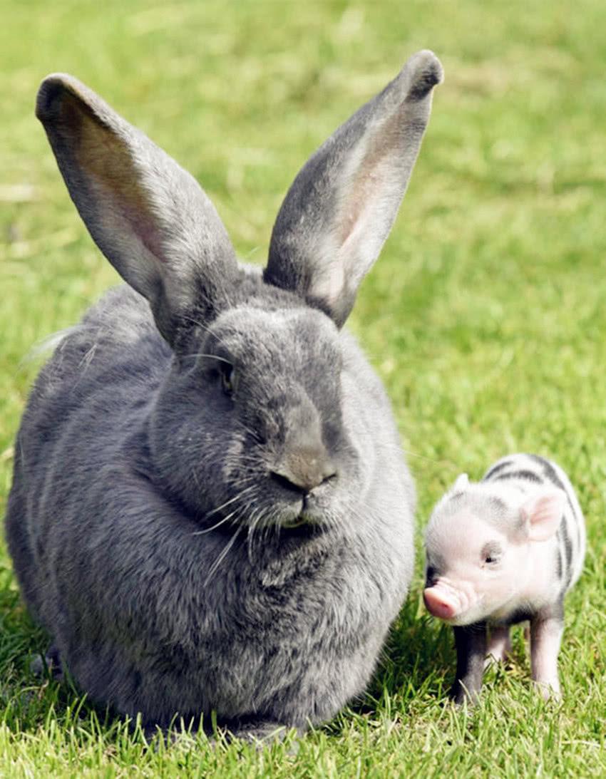 """迷你宠物""""小香猪""""变""""大肥猪"""",迷你猪主动撒娇,野兔面无表情"""