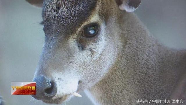 毛冠鹿属于国家二级野生保护动物,广泛分布于我国亚热带海拔10004000米之间的山上。在我国的浙江、福建、安徽、江西、四川、云南等地都有发现,在缅甸北部也有零星分布。 毛冠鹿此前出现在我国最北端的地方是南北分水岭秦岭。这次在宁夏六盘山发现毛冠鹿尚属首次,把毛冠鹿的活动范围向北延伸了500公里。